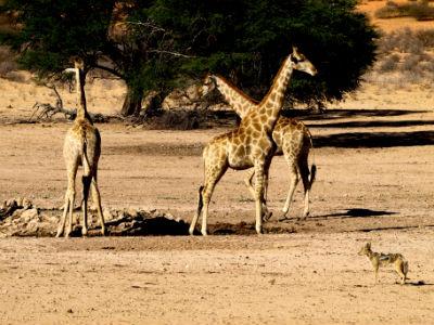 jirafas con chacal en el Kalahari