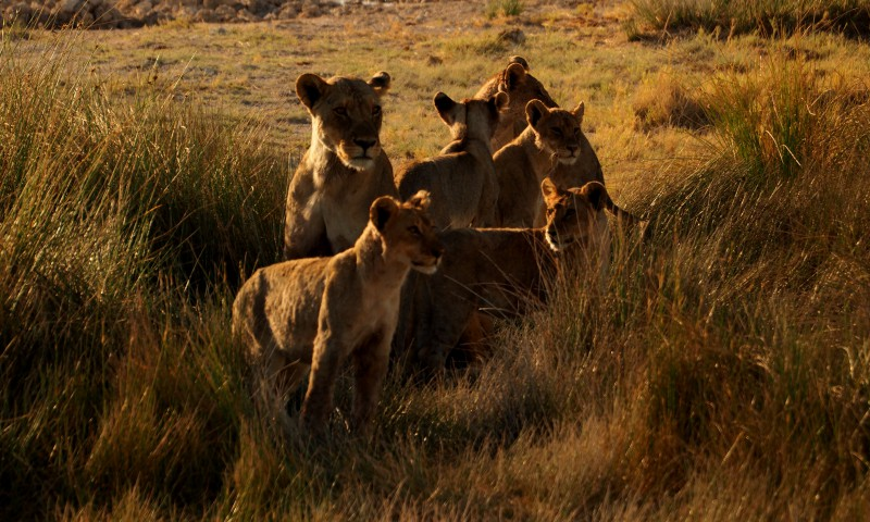 Familia de leonas en Etosha