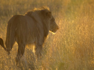 leon al amanecer en el Kalahari