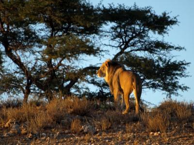 Otro león al amanecer en el Kalahari