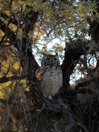buho en el Kalahari