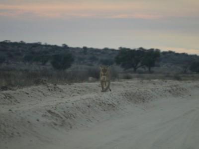 Leona al encuentro Kalahari