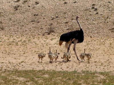 avestruz con sus crias en el Kalahari