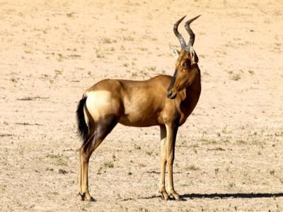 kalahari y los animales
