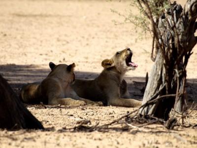 leonas rugiendo en el Kalahari