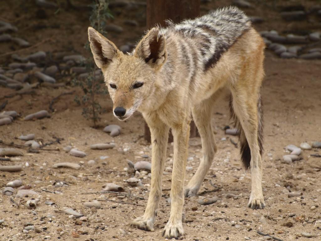 Chacal en el Kalahari