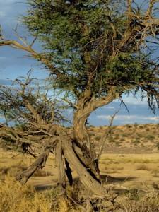 Un árbol en el Kalahari