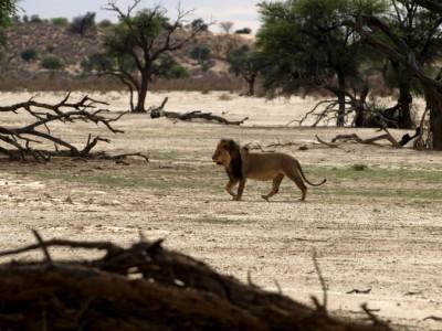 León del Kalahari