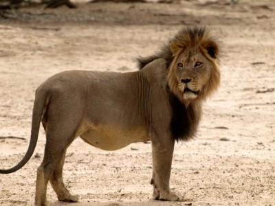 Gran león del Kalahari