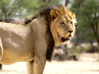 Leones del Kalahari