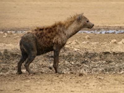 Hiena en el Kalahari