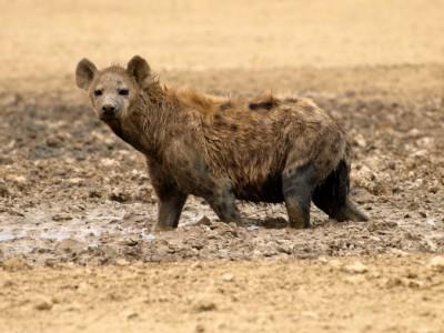 hiena en el Kalahari 2