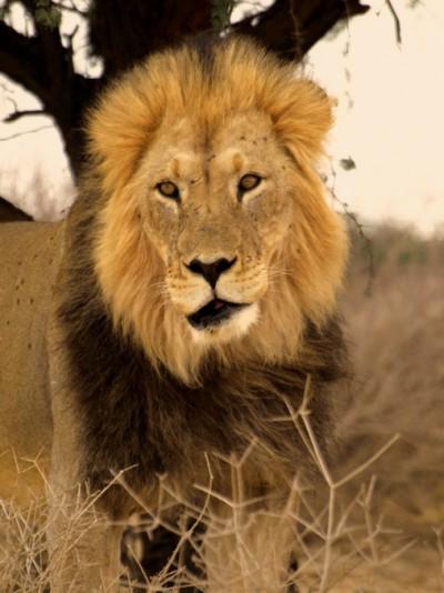 El leon de melena negra del Kalahari