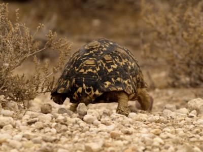 Tortuga en el Kalahari