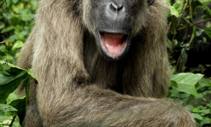 Chimpance albino