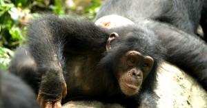 chimpance en Afl