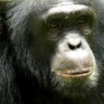 chimpance en la reserva