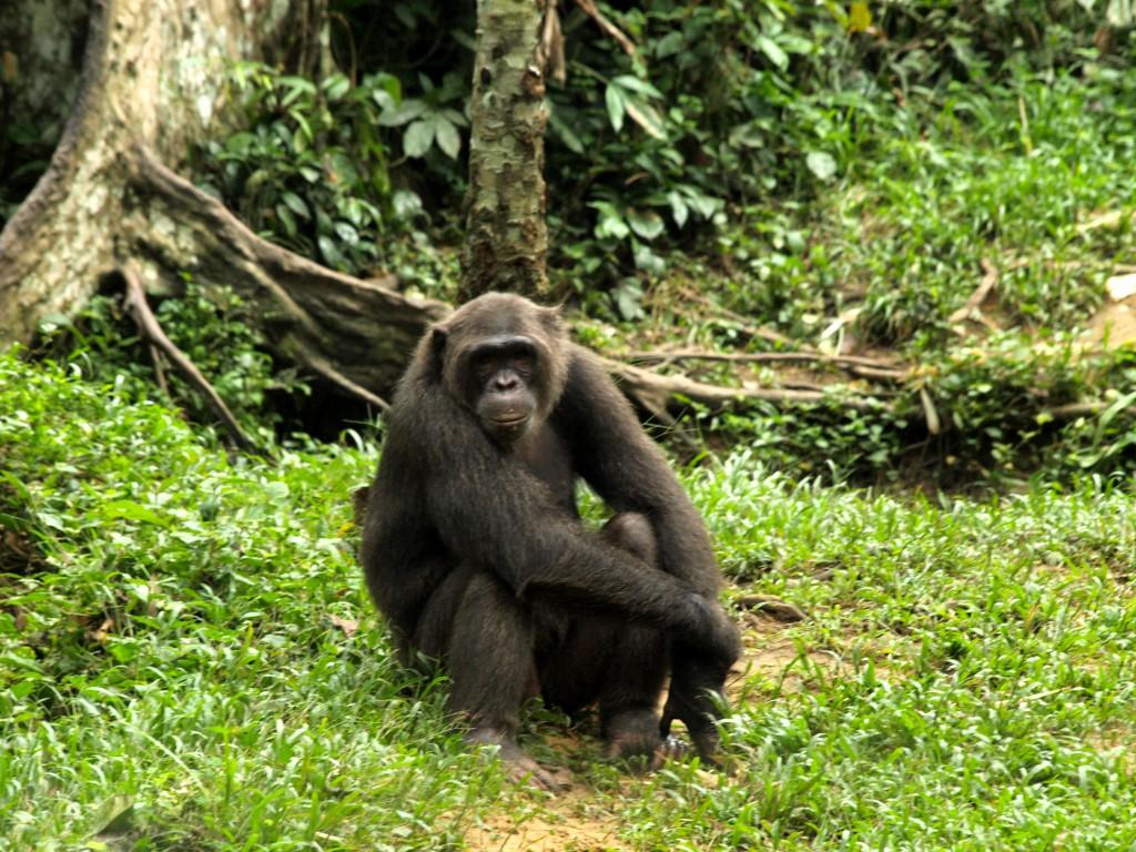 Chimpance en Afi