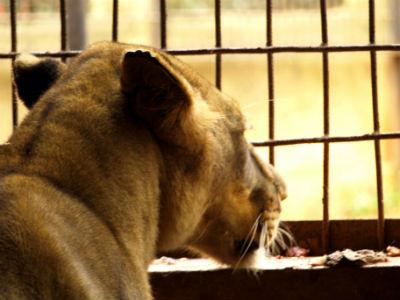 Leona en el zoo de Yaounde