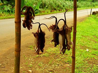 Ratas para una buena cena guineana