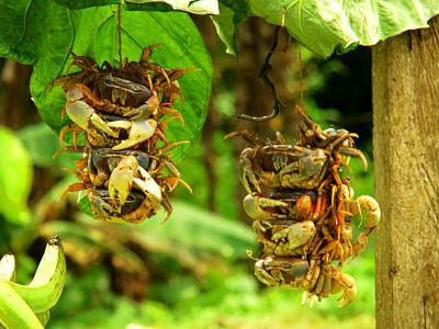 Cangrejos de tierra que queremos cocinar