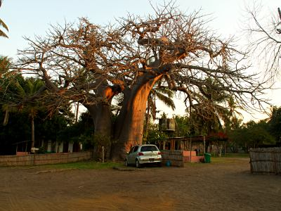 Baobab en el hotel Baobab de Vianculos