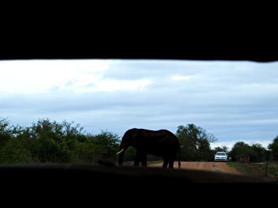 Un elefante enfadado en el Kruger