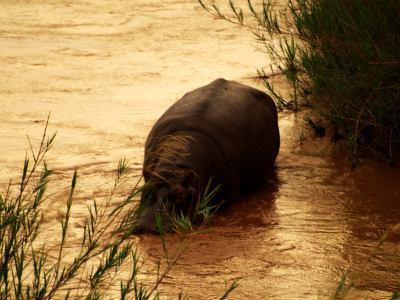 Hipo en el Kruger a la tarde