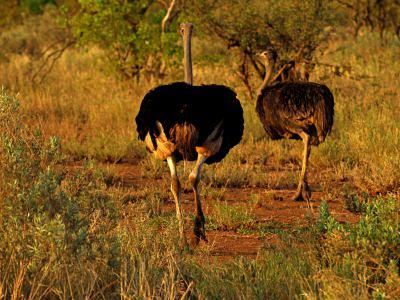 Avestruces en el Kruger