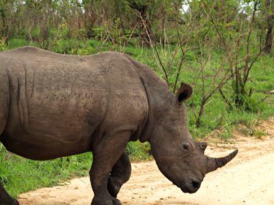 Un rinoceronte cruzando delante de mi coche