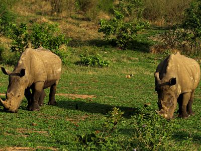 Rinocerontes en el Kruger