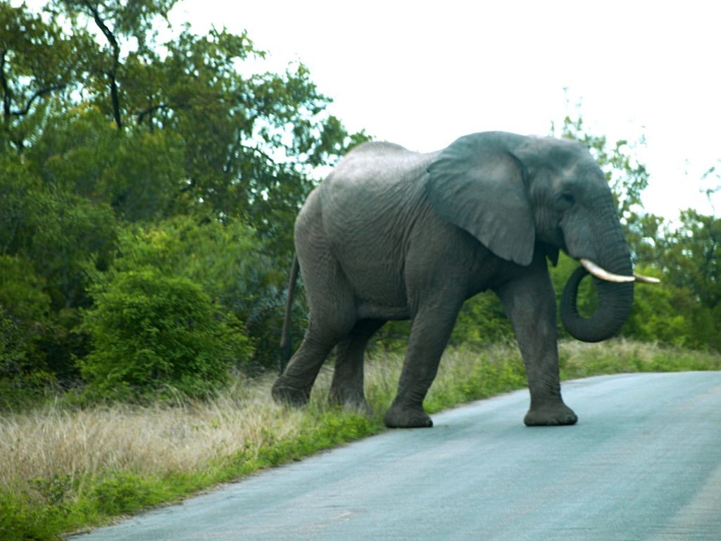 Elefantes en el Kruger