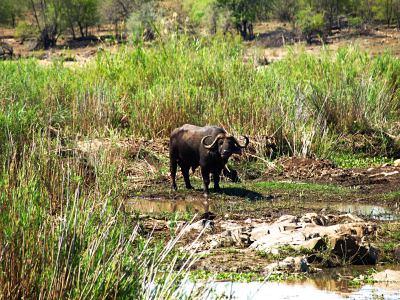 Un bufalo solitario en el Kruger