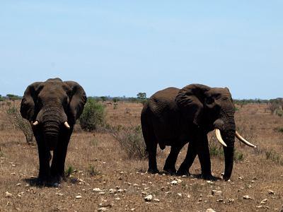 Dos elefantes pasando por delante de nuestras narices en el Kruger