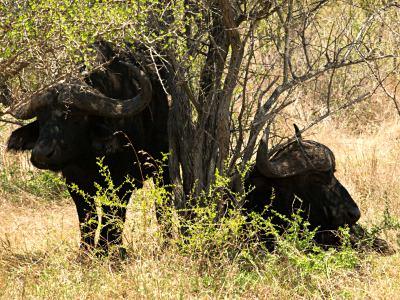 Dos bufalos en el Kruger