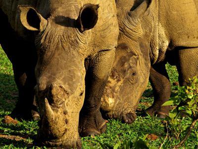 dos rinos en el Kruger