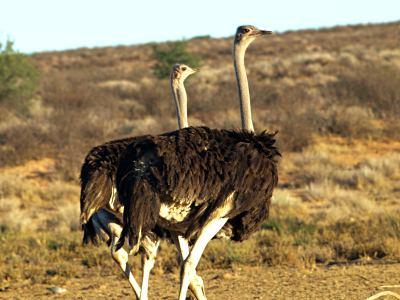 Avestruces en el Kalahari