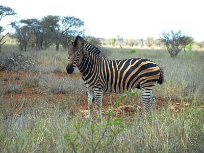 El Kruger esta lleno de cebras