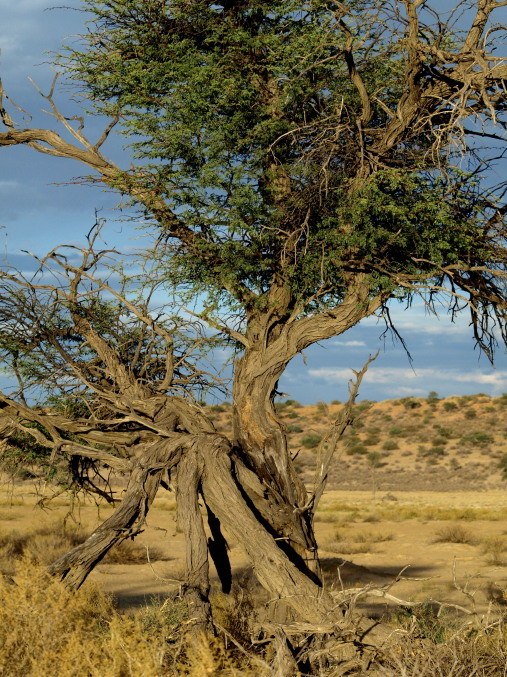 Los arboles del Kalahari