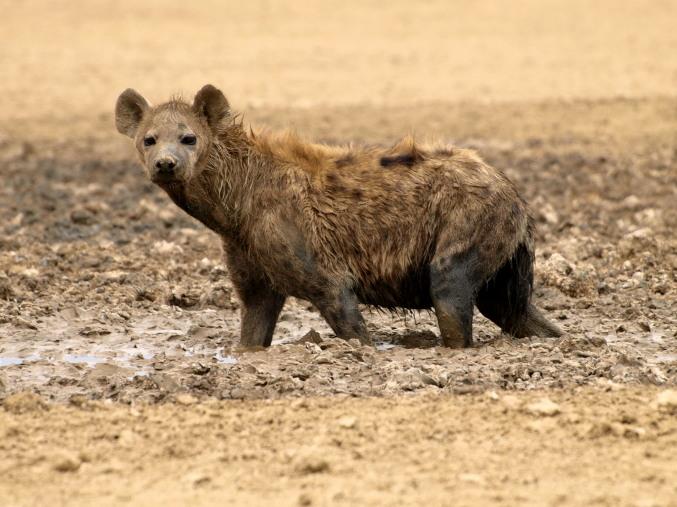 Una hiena en el Kalahari