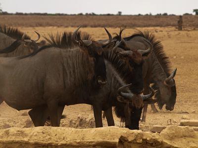Ñus buscando agua en el Kalahari