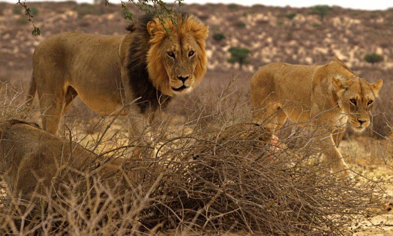Leones en el Kalahari