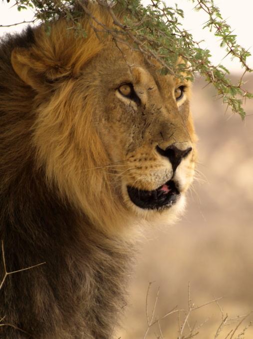Un león en el Kalahari