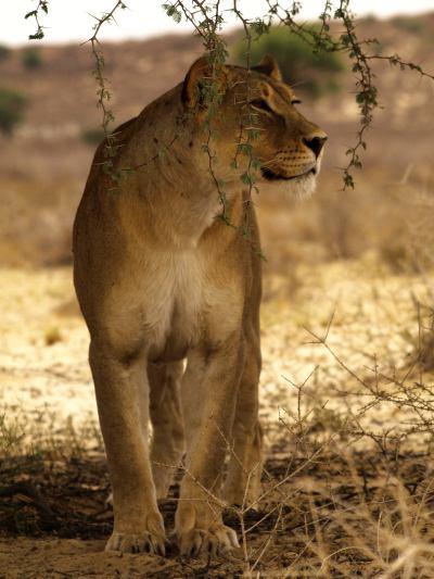 Leona en el Kalahari