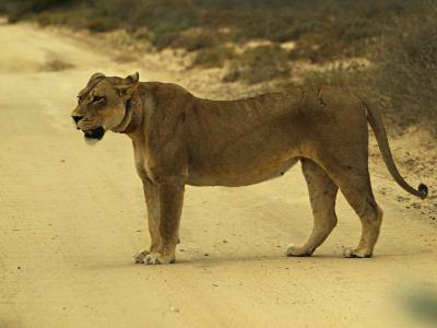 Una leona en una pista del Kalahari