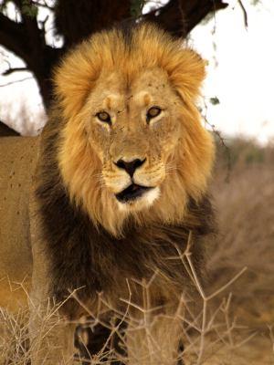 Otro león del Kalahari