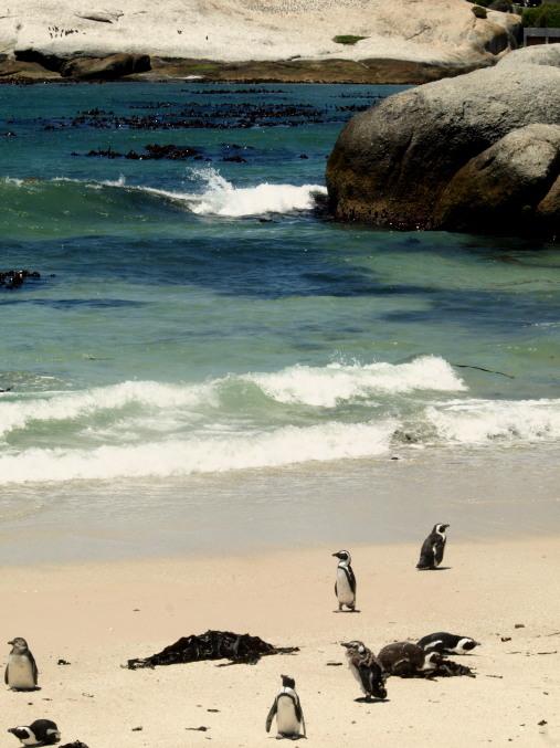 Colonia de pingüinos en Sudafrica
