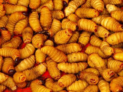 Uno de los manjares de Kinshasa, gusanos vivos
