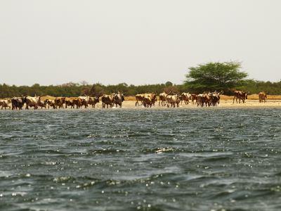Mas vacas atravesando Senegal