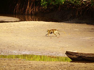 Un mono entre los manglares